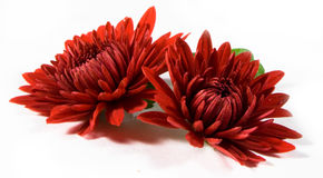 Rote Blumen Lizenzfreie Stockbilder