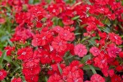 Rote Blumen Stockfoto