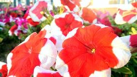 Rote Blumen Lizenzfreies Stockbild
