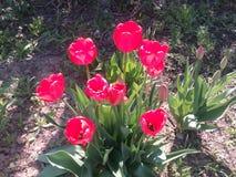 Rote Blumen, Anlagen, Feiertag, Blumenstrauß von Blumen, Frühlingsanlagen, rote Tulpen blühen, festliche Stimmung Lizenzfreie Stockbilder