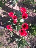 Rote Blumen, Anlagen, Feiertag, Blumenstrauß von Blumen, Frühlingsanlagen, rote Tulpen blühen, festliche Stimmung Stockbilder