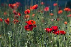 Rote Blumen, Anlagen, rote Mohnblumen, Feld mit Mohnblumen, viele Blumen, verblaßte Anlagen, sinkende Anlagen, lackieren Stockbild