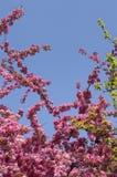 Rote Blumen auf blühenden Baumasten als pictur Stockbilder