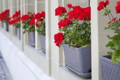 Rote Blumen auf dem Fensterbrett Stockfotos