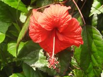 Rote Blumen auf grünem Hintergrund, Sri Lanka stockbild