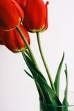 Rote Blumen auf weißem Hintergrund, Tulpen Stockbilder