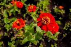 Rote Blumen, colorfulIn der Garten Stockbild