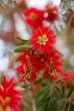 Rote Blumen der Nahaufnahme lizenzfreies stockfoto