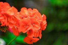 Rote Blumen in der Natur Lizenzfreie Stockbilder