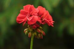 Rote Blumen in der Natur Lizenzfreie Stockfotografie