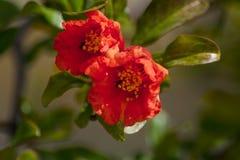 Rote Blumen der Punica granatum mit Ameisen stockfoto