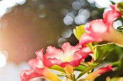 Rote Blumen der Wüstenrose, der Scheinazalee, des rosa Bignonia, der Impalalilie oder des Adenium Stockfotografie