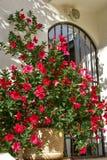 Rote Blumen des Kapuzinerkäses im Topf gegen weiße Wand mit Eisentor Stockbilder