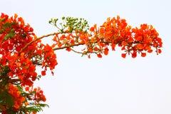 Rote Blumen eines brennenden Baums Lizenzfreie Stockfotografie