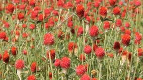 Rote Blumen erhält geblasen stock footage