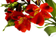 Rote Blumen getrennt Lizenzfreie Stockfotos