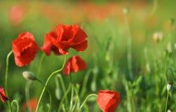 Rote Blumen, grünes Gras Stockfotografie