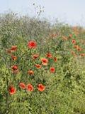 Rote Blumen, grünes Gras Lizenzfreies Stockbild
