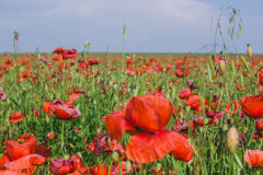 Rote Blumen, grünes Gras Lizenzfreie Stockfotos