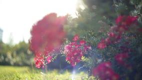 Rote Blumen im Blumenbeet im Sommer parken HD-Video mit bokhe stock video