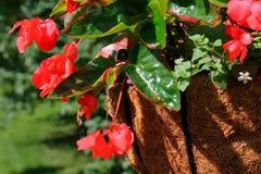Rote Blumen im Kokosnuss-Topf Stockbild