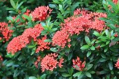Rote Blumen Ixora im Garten Stockfoto