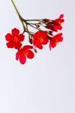 Rote Blumen lokalisiert auf weißem Hintergrund Stockbild