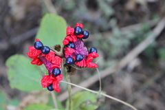 Rote Blumen mit dunkel-blauen Beeren auf einem Hintergrund der Nahaufnahme des grünen Grases lizenzfreies stockfoto