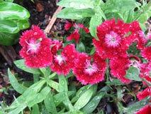 Rote Blumen nach einem Sommer-Regen Lizenzfreie Stockfotografie
