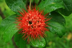 Rote Blumen oder rote Blüte oder Hawaiianer Ohia-lehua Blume Lizenzfreie Stockfotos