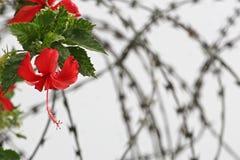 Rote Blumen sind auf einem Stacheldraht Stockbild