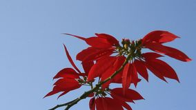 Rote Blumen und blauer Himmel stock video footage