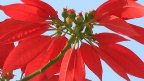 Rote Blumen und blauer Himmel stock footage