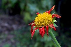 Rote Blumen und gelber Blütenstaub sterben Lizenzfreie Stockfotos
