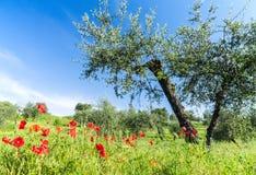 Rote Blumen und Olivenbaum am Frühling Stockbilder