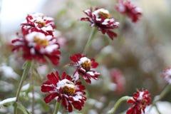 Rote Blumen unter dem Schnee stockfoto