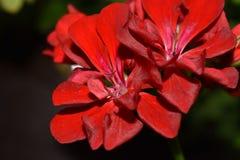 Rote Blumenblätter stockbild