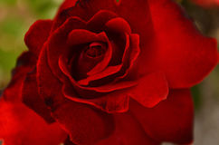 Rote Blumenblätter der Rose Stockfotografie