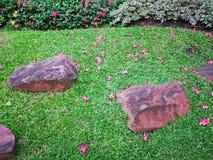 Rote Blumenblätter des Plumeriablühens fallen unten auf grünes Teppichgras-Rasenyard in einem Garten, verziert mit braunem Sandst stockbilder
