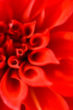 Rote Blumenblätter einer Blume lizenzfreie stockfotos