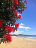 Rote Blumenblüte Pohutukawa im Dezember Lizenzfreies Stockfoto