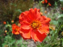 Rote Blumenblattblume Stockfoto
