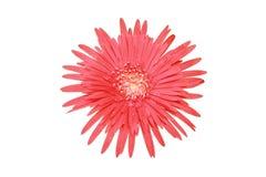 Rote Blumenblattblume ist gezackte Draufsicht der v-förmigen Projektion des Blickes Stockfotos