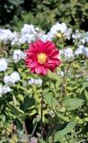 Rote Blumendahlie im Garten Lizenzfreies Stockfoto