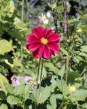 Rote Blumendahlie im Garten Stockfotografie
