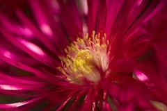 Rote Blumenexplosion Stockbild
