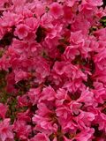 Rote Blumenexplosion Lizenzfreie Stockbilder