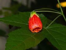 Rote Blumenknospe auf Blatt der hybriden Nahaufnahme des Abutilon, selektiver Fokus Flacher DOF Stockfoto