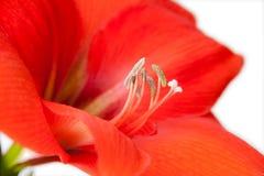 Rote Blumennahaufnahme lokalisiert auf weißem Hintergrund Stockfotografie