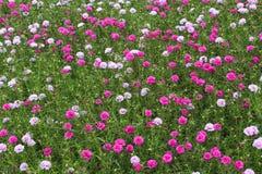 Rote Blumenwiese stockfotografie